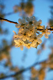 Blossom cherry tree Stock Photo