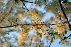 Blossom cherry tree Royalty Free Stock Photography