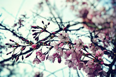 Blossom of cherry tree Stock Photography