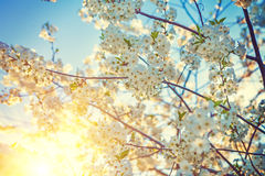 Blossom of cherry tree with white fowers and sun Royalty Free Stock Photos