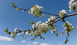 Blossom cherry trees. Stock Photography