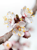 Blossom cherry twig Royalty Free Stock Images