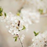 Blossom cherry Royalty Free Stock Photos