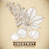 Blossom Chestnut Botanical Vector Illustration Royalty Free Stock Photo