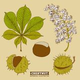 Blossom Chestnut Botanical Vector Illustration Stock Photos