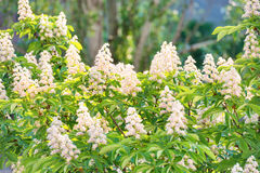 Blossom chestnut tree in flowers Royalty Free Stock Image
