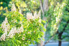 Blossom chestnut tree in flowers Stock Photography