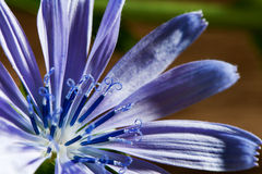 Blossom of chicory Royalty Free Stock Images
