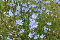 Free Blossom Chicory Cichorium Intybus Royalty Free Stock Image - 215625916