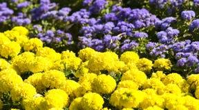 Blossom chrysanthemum flowers. Beautiful blossom yellow and violet hrysanthemum flowers royalty free stock photography