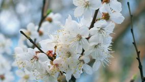 Blossom closeup swinging in the wind stock video footage