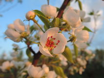 Blossom cluster of the fruit tree Stock Photos