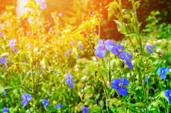 Blossom of commelina coelestis blue flowers under bright summer sunlight Stock Image