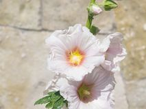 Blossom Common Hollyhock, Alcea Rosea, close-up with bokeh background, selective focus, shallow DOF.  Royalty Free Stock Photos