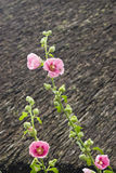 Blossom Common Hollyhock, Alcea Rosea, close-up with bokeh background, selective focus, shallow DOF Royalty Free Stock Image
