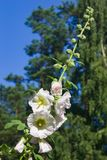 Blossom Common Hollyhock, Alcea Rosea, close-up with bokeh background, selective focus, shallow DOF Royalty Free Stock Images