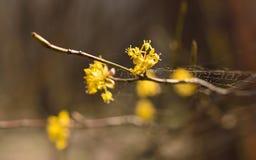 Blossom cornel Stock Images