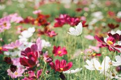 Blossom cosmos flower bed in cinematic tone. Shallow deft of field royalty free stock photography