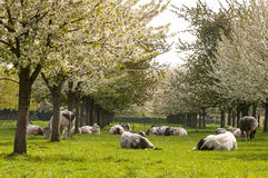 Blossom and cows. Old apple trees in the grassland with some grazing cows royalty free stock image