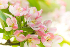 Blossom from Crab apple tree in spring. Pink and white Malus 'Red sentinel' or Crab apple tree blossom in spring - light, soft, dreamy, horizontal spring image Stock Photography