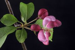 Blossom from crab apple tree. A studio shot of a flower from the crab apple tree Stock Images