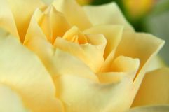 Blossom of a creamy white colored rose Stock Photos