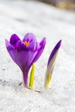 Blossom crocus and bud Stock Photography