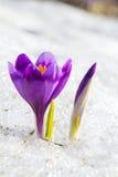 Blossom crocus and bud Stock Photography