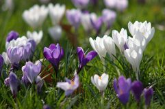Blossom of crocuses Stock Images