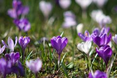 Blossom of crocuses Royalty Free Stock Images