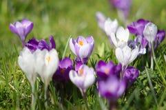 Blossom of crocuses Stock Photo