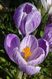 Blossom of crocuses Stock Image