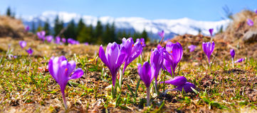 Blossom of crocuses Royalty Free Stock Image