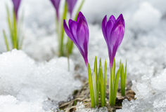 Blossom crocuses Royalty Free Stock Images