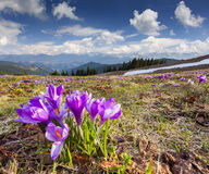 Blossom of crocuses at spring Royalty Free Stock Photography