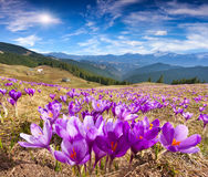 Blossom of crocuses at spring in mountains Royalty Free Stock Images