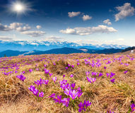 Blossom of crocuses at spring in mountains Stock Photos