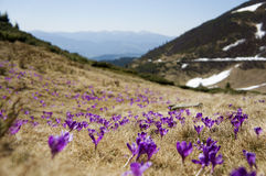Blossom of crocuses at spring in the mountains Stock Images