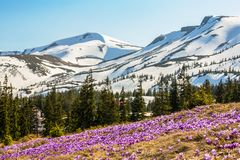 Blossom of crocuses at spring in the mountains stock photos