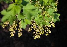 Blossom currant bunch Stock Photo