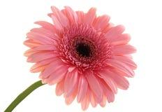 Blossom of daisy Stock Photos