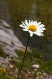 Blossom of Daisy Royalty Free Stock Photos