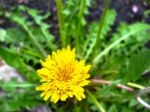 Blossom of a dandelion close up, leaves in the background blurred royalty free stock photos
