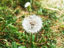 Blossom dandelion flower. Green grass. Summer plant. Beautiful nature royalty free stock image