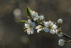 Blossom and Dew Royalty Free Stock Images