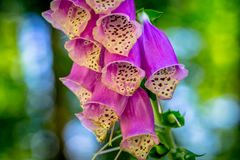 Blossom of a Digitalis Purpurea on a Bright Sunny Day royalty free stock image