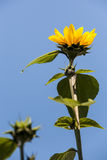 Blossom of edible yellow sunflower a high stalk. Royalty Free Stock Images