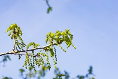 Blossom of English Oak Tree or Quercus robur with male flowers against sky close-up, selective focus, shallow DOF.  Royalty Free Stock Photos