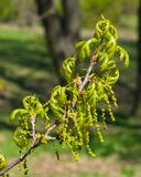 Blossom of English Oak Tree or Quercus robur with male flowers close-up, selective focus, shallow DOF.  Stock Images