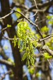 Blossom of English Oak Tree or Quercus robur with male flowers close-up, selective focus, shallow DOF.  Royalty Free Stock Images